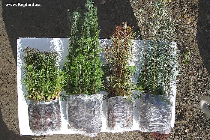 tree-planting-planters-pine-spruce-larch-fir