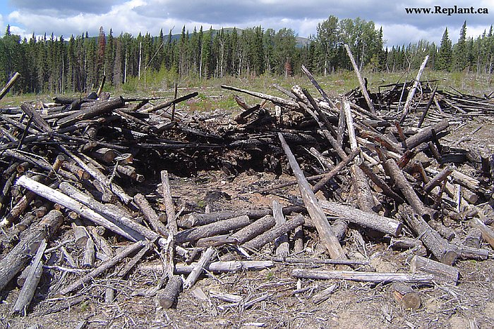 tree-planting-planters-slash-pile-center-burned-out